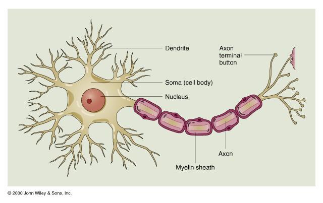Nerve Axon Diagram The Axon Carries Nerve Pulses